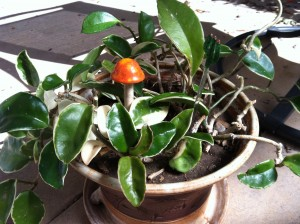 My beloved Hoya plant