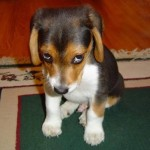 adorable beagle puppy looking guilty