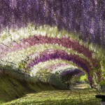 gorgeous park with overhead wisteria in bloom