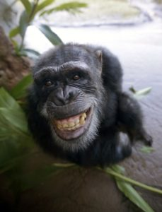 a smiling chimp about to swing through the trees